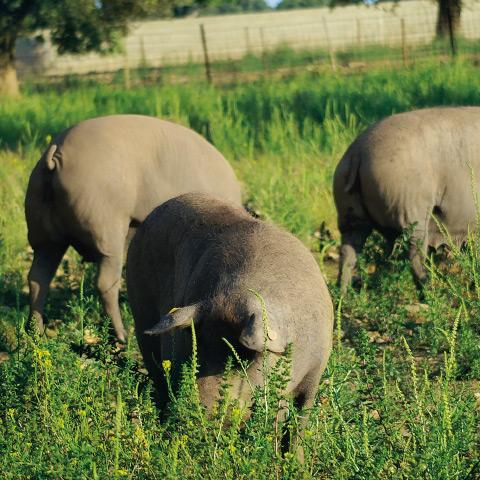 Zwei groГџe schwarze Schweine